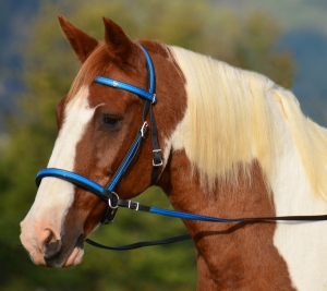 Here, Flash shows off our two-colored 2-in-1 bitless bridle